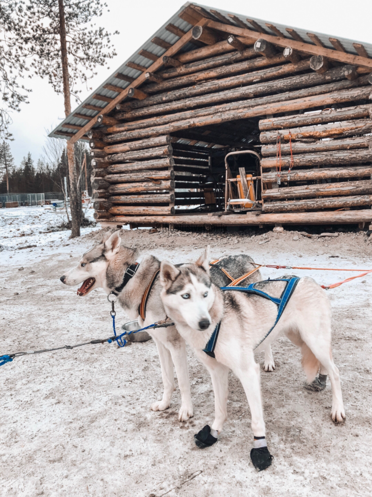 husky dogs sledding santa claus village finland best for family